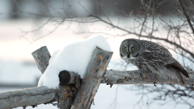 MS/SLOMO  shot of a Great Gray owl (Strix nebulosa) flying off from a snowy buck rail fence at sunset