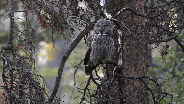ms shot of a great gray owl ( (strix nebulosa) sitting in a pine tree - great gray owl stock videos & royalty-free footage