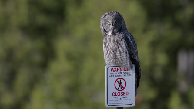 ts  4k  shot of a great gray owl  (strix nebulosa) sitting on a bear sign - great gray owl stock videos & royalty-free footage