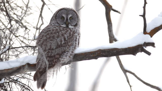 ms/slomo  shot of a great gray owl (strix nebulosa) sitting on a snow covered branch at dusk - great gray owl stock videos & royalty-free footage