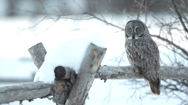 MS/SLOMO  shot of a Great Gray owl (Strix nebulosa) sitting on a snowy buck rail fence at sunset