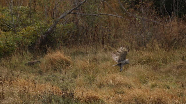 ws shot of a great gray owl (strix nebulosa) taking off from the ground - great gray owl stock videos & royalty-free footage