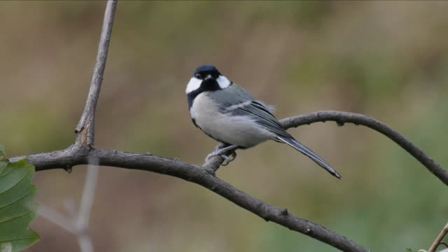 shot of a  great tit perching on branch and flying - perching stock videos & royalty-free footage