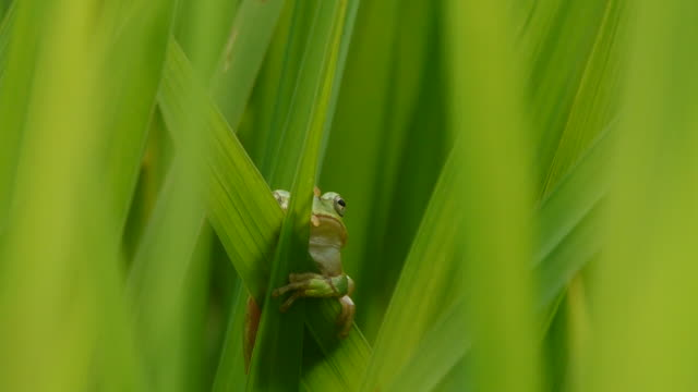 vidéos et rushes de shot of a green frog on the blade of grass - camouflage