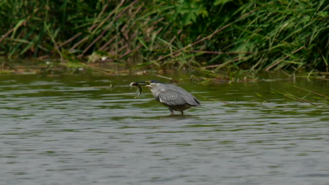 Shot of A green-backed heron eating fish on the lake