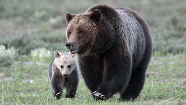 TS shot of a grizzly bear and cub (Ursus arctos) walking through the meadow into the lens