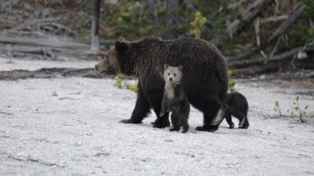 ms  4k  shot of a grizzly bear (obsidian sow) and her 3 cubs (ursus arctos) walking through ash - group of animals stock videos & royalty-free footage
