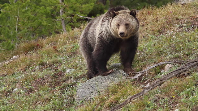 ms  shot of a grizzly bear  (ursus arctos horribilis) approaching the camera and standing on a rock - mt moran stock videos & royalty-free footage