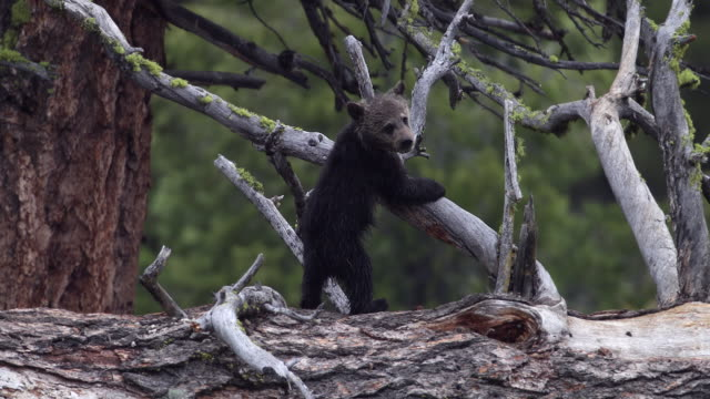 MS 4K shot of a grizzly bear cub (Ursus arctos) climbing on a tree trunk