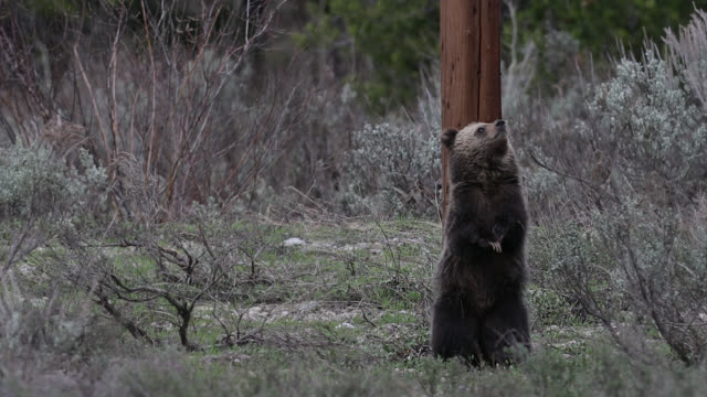 ms  4k  shot of a grizzly bear cub (ursus arctos) scratching on a power pole - north america stock videos & royalty-free footage