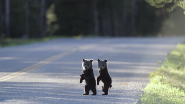 ms 4k shot of a grizzly bear cubs (ursus arctos) walking (standing up)  across the road - raubtier stock-videos und b-roll-filmmaterial