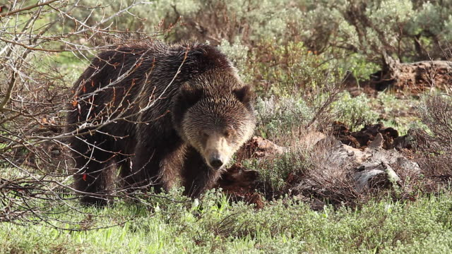 ms  shot of a grizzly bear  (ursus arctos horribilis) feeding on a kill - zoology stock videos & royalty-free footage