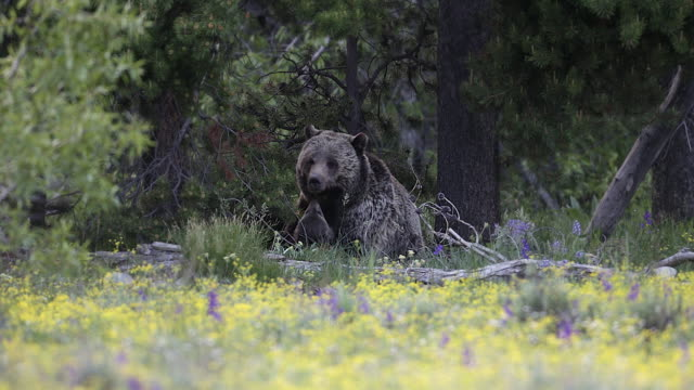 ms 4k shot of a grizzly bear in the wildflowers (ursus arctos) nursing 2 newborn cubs - bear cub stock videos and b-roll footage
