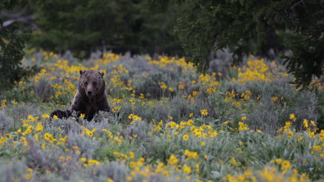 MS 4K shot of a grizzly bear in the wildflowers (Ursus arctos) nursing 2 newborn cubs