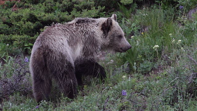 TS 4K shot of a grizzly bear in the wildflowers (Ursus arctos)