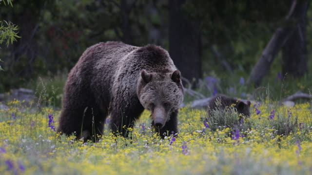 MS 4K shot of a grizzly bear in the wildflowers (Ursus arctos) with 2 newborn cubs running around her