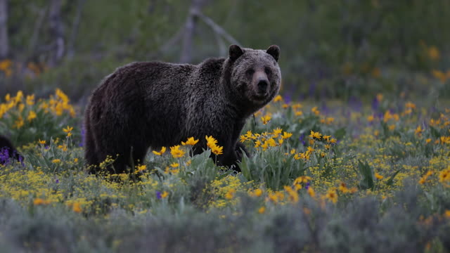 ms 4k shot of a grizzly bear in the wildflowers (ursus arctos) with 2 newborn cubs running around her - bear cub stock videos and b-roll footage