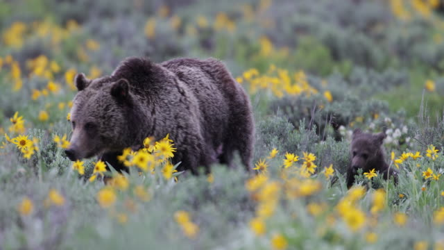 ts/ms 4k shot of a grizzly bear in the wildflowers (ursus arctos) with newborn cubs running - bear cub stock videos and b-roll footage