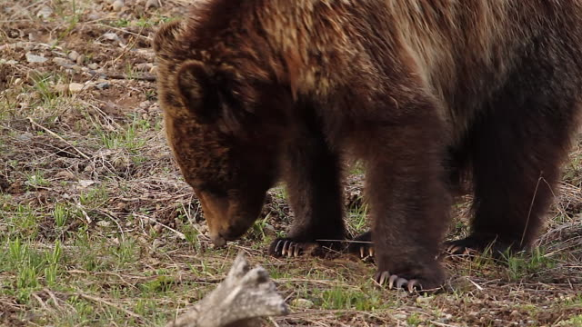 TS/CU  shot of a grizzly bear  (Ursus arctos horribilis) nose and all 4 paws with claws