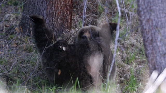 ts 4k shot of a grizzly bear (ursus arctos) rolling and playing in the forest, waking from a nap - grizzlybär stock-videos und b-roll-filmmaterial