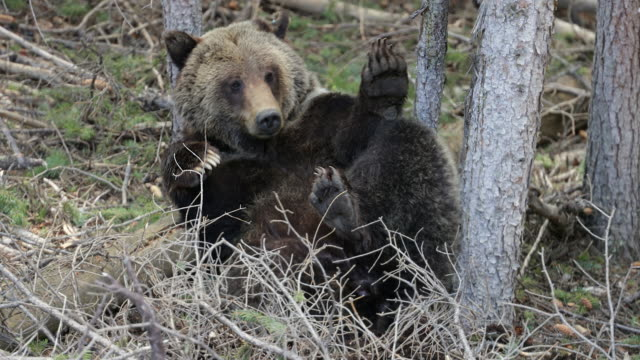 TS 4K shot of a grizzly bear (Ursus arctos) rolling and playing in the forest, waking from a nap