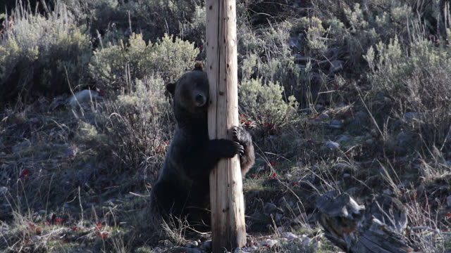 ms  4k  shot of a grizzly bear (ursus arctos) rubbing on a power pole - rubbing stock videos & royalty-free footage