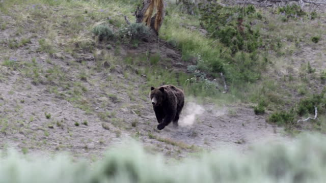 ws  shot of a grizzly bear  (ursus arctos horribilis) running down the hillside toward the camera - grizzlybär stock-videos und b-roll-filmmaterial