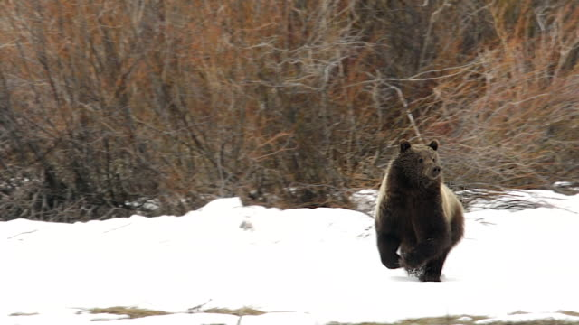 ms shot of a grizzly bear (ursus arctos) running through the snow - bear stock videos and b-roll footage