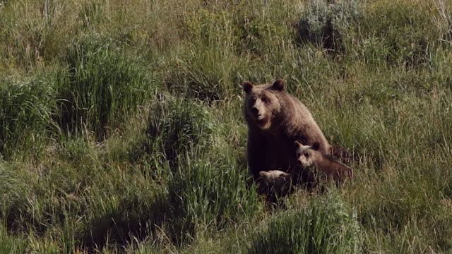 MS  shot of a grizzly bear  (Ursus arctos horribilis) sow nursing two cubs of the year