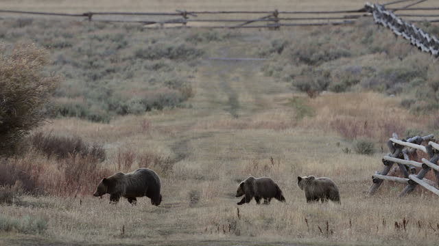 WS  4K shot of a grizzly bear sow with 2 cubs (Ursus arctos) climbing over a buck rail fence