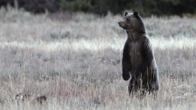 ms  4k shot of a grizzly bear sow with 2 cubs (ursus arctos) standing up and looking in a sagebrush meadow - standing stock videos & royalty-free footage