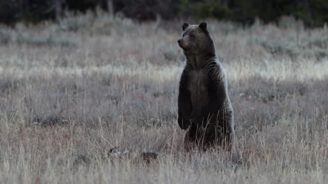 vidéos et rushes de ms  4k shot of a grizzly bear sow with 2 cubs (ursus arctos) standing up and looking in a sagebrush meadow - ours brun