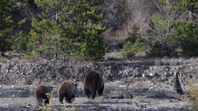 WS  4K shot of a grizzly bear sow with 2 cubs (Ursus arctos) walking down a river bottom