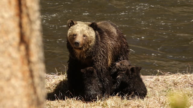 TS  shot of a grizzly bear  (Ursus arctos horribilis) sow with 3 cubs of the year getting ready to cross the river