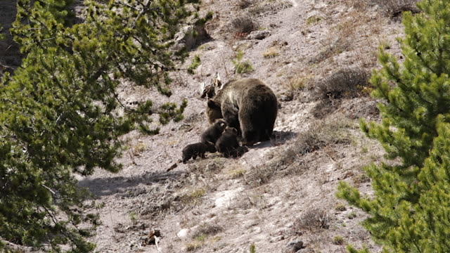 ms  shot of a grizzly bear  (ursus arctos horribilis) sow with 3 cubs of the year nursing on the side of the mountain - animal family stock videos & royalty-free footage