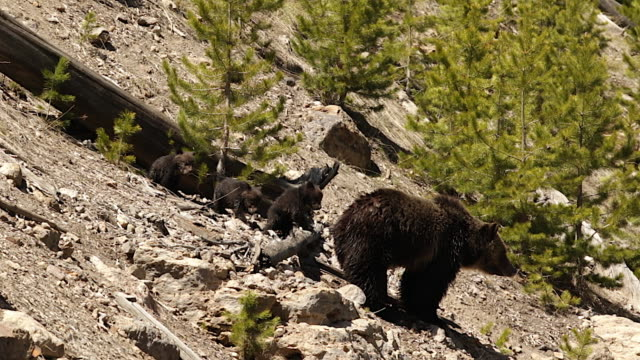 stockvideo's en b-roll-footage met ms  shot of a grizzly bear  (ursus arctos horribilis) sow with 3 cubs of the year playing on the hillside - dierenfamilie