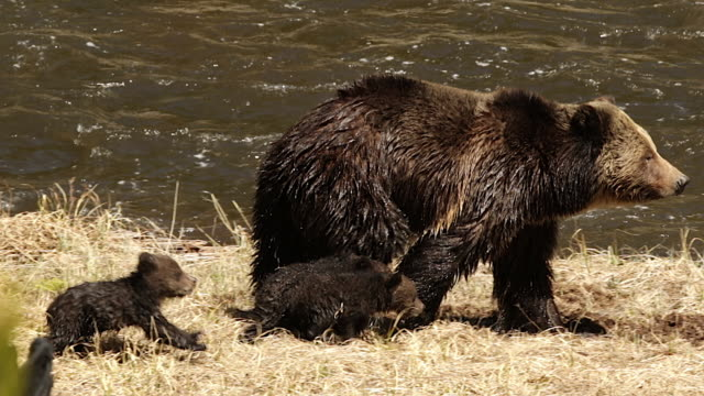TS  shot of a grizzly bear  (Ursus arctos horribilis) sow with 3 cubs of the year walking along the river