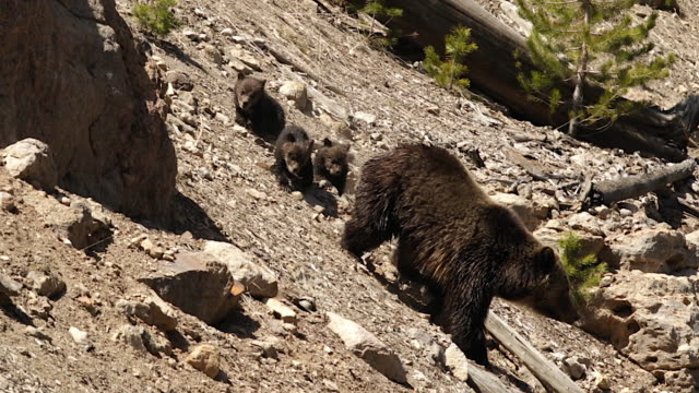 stockvideo's en b-roll-footage met ms  shot of a grizzly bear  (ursus arctos horribilis) sow with 3 cubs of the year walking down the hill into the lens - vier dieren