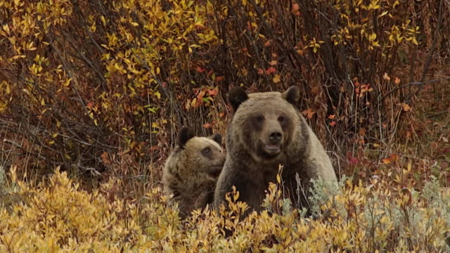 MS/SLOMO  shot of a grizzly bear  (Ursus arctos horribilis) sow with a cub as they interact while sitting in a patch of golden fall willows