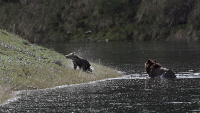 WS  shot of a grizzly bear sow (Ursus arctos horribilis) with a cub of the year swimming across the Snake River