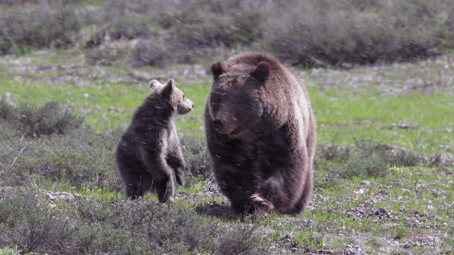 MS  shot of a grizzly bear  (Ursus arctos horribilis) sow with a cub of the year walking through a meadow toward the camera