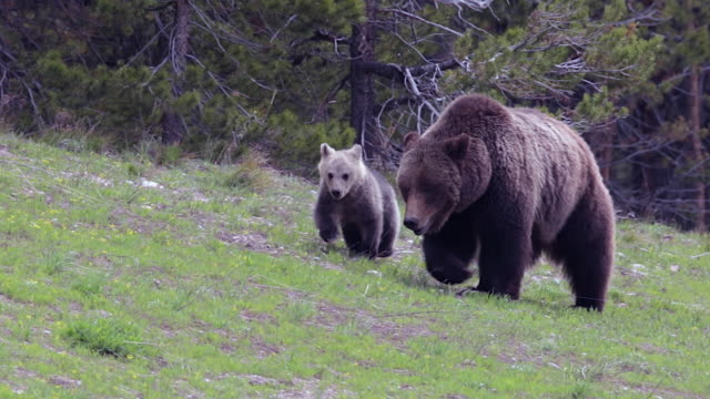 ms  shot of a grizzly bear  (ursus arctos horribilis) sow with a cub of the year walking through a meadow toward the camera - animal family stock videos & royalty-free footage