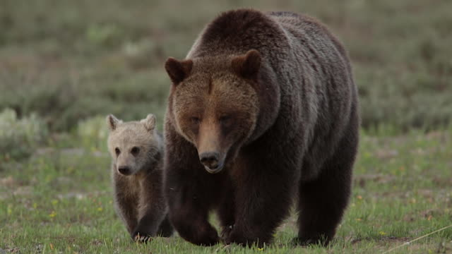 TS  shot of a grizzly bear  (Ursus arctos horribilis) sow with a cub of the year walking through a meadow toward the camera