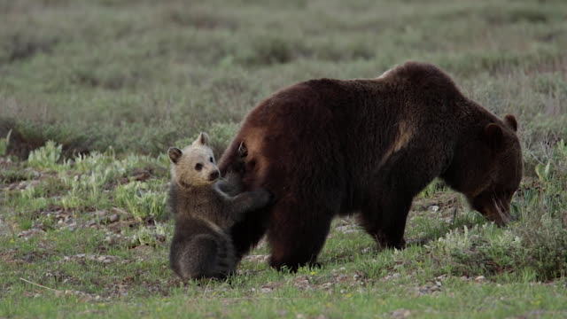 MS  shot of a grizzly bear  (Ursus arctos horribilis) sow with a cub of the year walking through a meadow