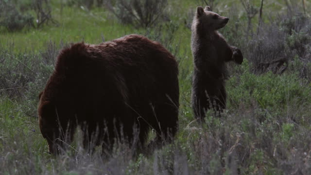 TS  shot of a grizzly bear sow  (Ursus arctos horribilis) with a cub of the year walking through a meadow toward the camera