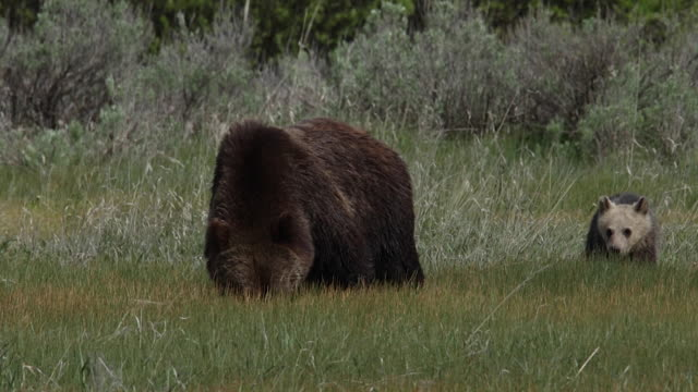 MS  shot of a grizzly bear sow (Ursus arctos horribilis) with a cub of the year walking through a meadow