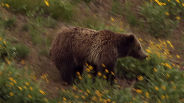 MS  shot of a grizzly bear  (Ursus arctos horribilis) sow with a cub running downhill through a field of wildflowers
