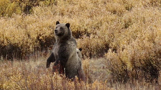 ms  shot of a grizzly bear  (ursus arctos horribilis) sow with a cub standing up in a field of golden fall willows - 站姿 個影片檔及 b 捲影像