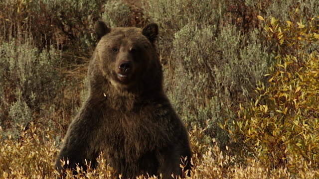 vidéos et rushes de ms/ts  shot of a grizzly bear  (ursus arctos horribilis) sow with a cub standing up in a field of golden fall willows - droit
