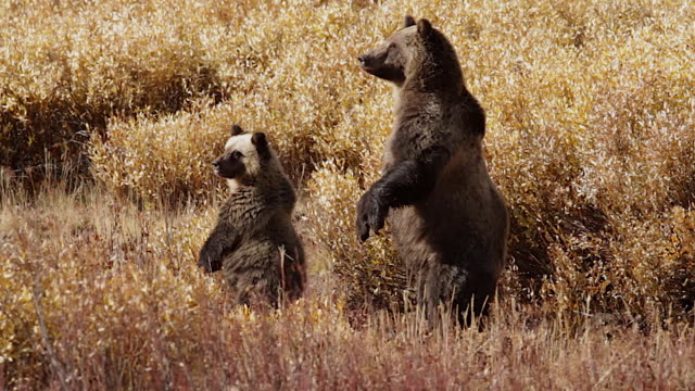 vídeos de stock, filmes e b-roll de ms  shot of a grizzly bear  (ursus arctos horribilis) sow with a cub standing up in a field of golden fall willows - ficando de pé